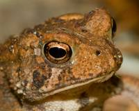Portrait of a Toad