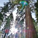 """Illuminated Sequoia 3"" by LUCILLE"