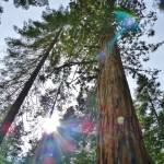 """Illuminated Sequoia 2"" by LUCILLE"
