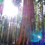 """Illuminated Sequoia 1"" by LUCILLE"