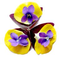 Mandala Blessing of the Violet, Oxalis, and Pansy