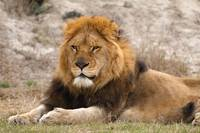 Lion at lahore Zoo copy