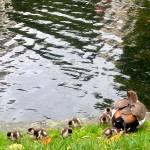 """Ducks family"" by Kryss"