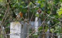 Robin and Barbed Wire