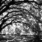 """Sunlight through Spanish Oak Tree - Black and Whit"" by Groecar"
