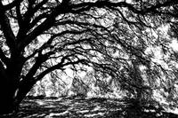 Sunlight through Spanish Oak Tree - Black and Whit