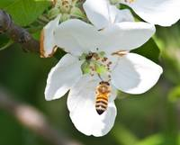 flying bee on apple blossom