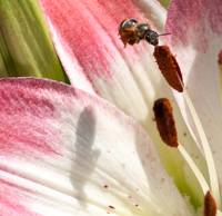 pollinating bee  on pistil