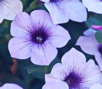 light violet petunia surfinia
