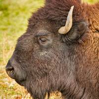 """Bison Headshot Profile"" by James ""BO"" Insogna"