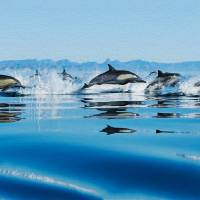 Leaping Dolphin Pod Art Prints & Posters by John Tribolet