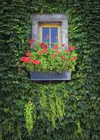 Flower Box with Ivy wall