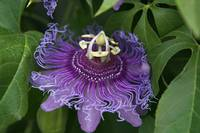 Purple passion flower