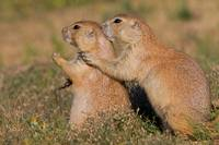 Prairie Dog Friends