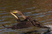 Cormorant and Fish