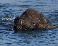 Bison Swimming