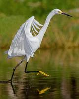 Egret Dancing on Water