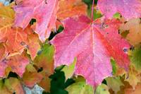 Canadian Autumn Maple Leaves