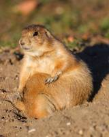 Prairie Dog is Full