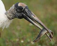 woodstork feeding