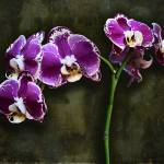 """Purple Orchids"" by GiorgettaMcRee"