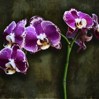 Purple Orchids Art Prints & Posters by Giorgetta Bell McRee