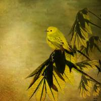 Yellow Warbler Art Prints & Posters by Tina Lindsay