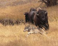 Bull Bison, Female, & Wolf