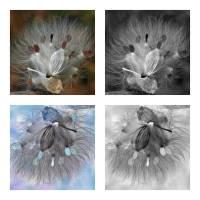 Milkweed Positive Negative Study Art Prints & Posters by Jim Bavosi