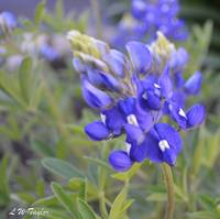 Mom's Bluebonnets