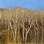 """Autumn Poplars"" by raetucker"
