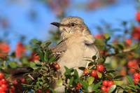 Mockingbird and Yaupon Berries