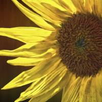 Sunflower Art Prints & Posters by Paul Ponticell