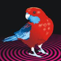 rosella Art Prints & Posters by Matt Mawson