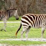 """Zebras"" by RebeccaCozart"