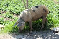 Free Range Pig in a Pasture