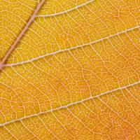 Orange Leaf Macro Art Prints & Posters by Carsten Reisinger