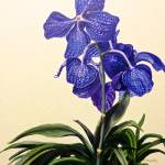 """Vanda Sausai Blue"" by marypalmer"