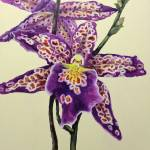 """""""Tiger Orchid"""" by marypalmer"""