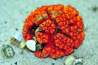 Equatorial Fruit Eaten by Hermit Crabs