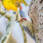 """""""Red-bellied Woodpecker"""" by WildAboutNaturePhotography"""