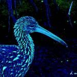 """""""Painted Night Limpkin Birdwatcher Art"""" by davidmckinney"""