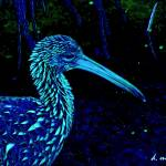 """Painted Night Limpkin Birdwatcher Art"" by davidmckinney"