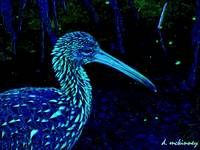 Painted Night Limpkin Birdwatcher Art