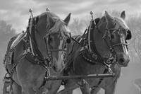 4R Ranch Draft Horses
