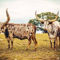 The Texas Longhorn Art Prints & Posters by Katya Horner