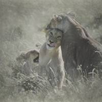 Affectionate Lion Cub Art Prints & Posters by Betty Sederquist