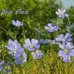 """Blue Flax"" by jodipflepsen"