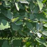 """Lambs Quarters"" by jodipflepsen"