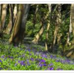 """Bluebell Woods"" by jonbonephoto"